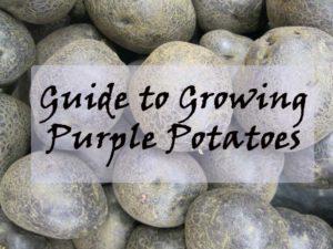 Growing purple potatoes