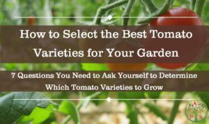 Growing tomato varieties